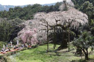 長興山紹太寺の桜